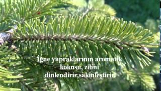 Ağaç Falı, Kova Burcu, Köknar Ağacı, Burçlarımız