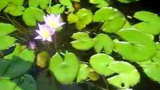 koi goldfish pond tropical fish garden backyard mami fl waterfall Nishikigoi