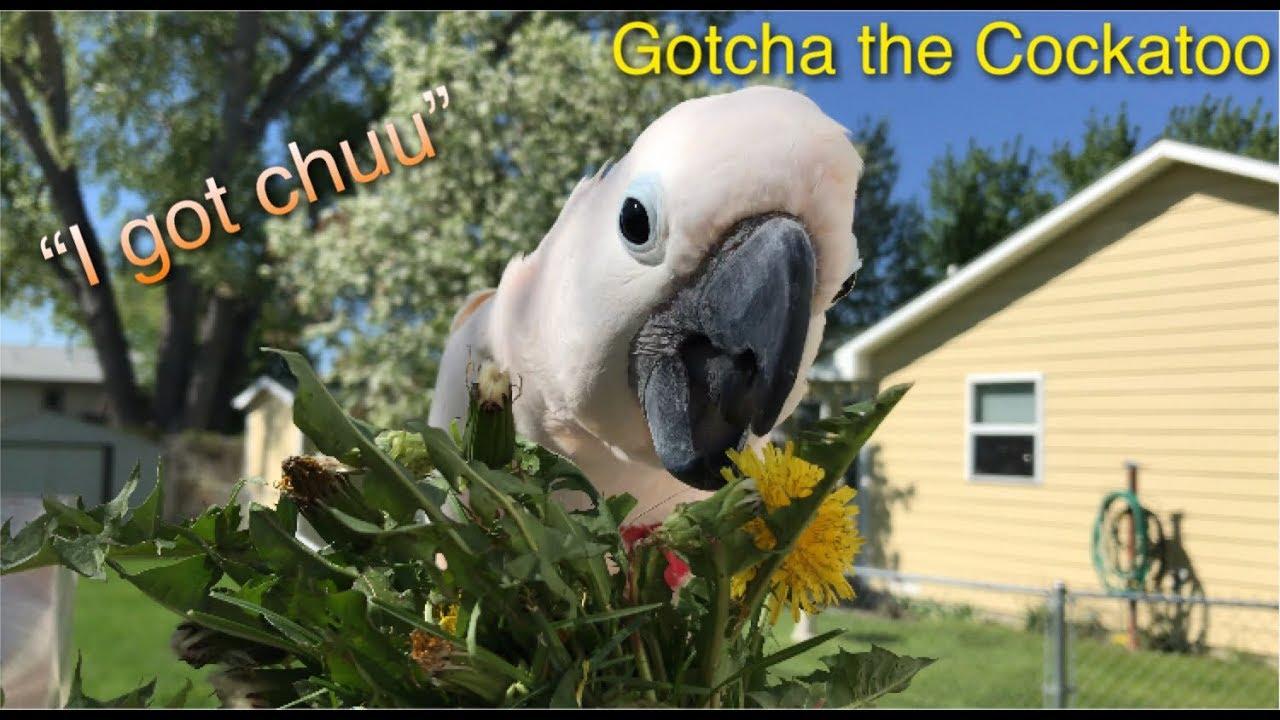 i-got-chuu