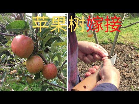 双嫁接苹果树再嫁接上二个品种,其中一个品种是世界上最防癌的新发现的自然遗产级品种