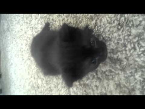 Tailless manx kittens