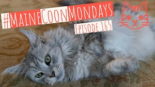 #MaineCoonMondays – Episode 165