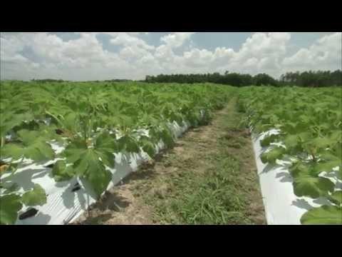 Zucchini - Growing