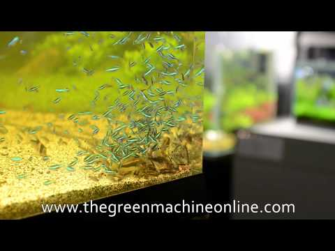 Fish Feeding Time- Green Neon Tetras & Corydoras @ The Green Machine