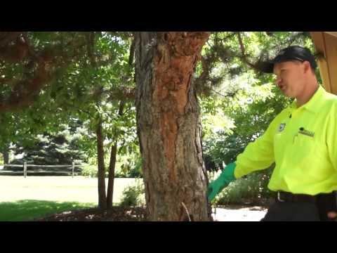 Pine Wilt Disease a Dangerous Problem - Denver and along the Front Range