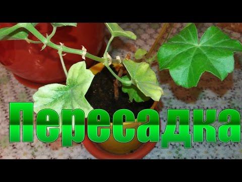 Пересадка герани /Transplanting geranium