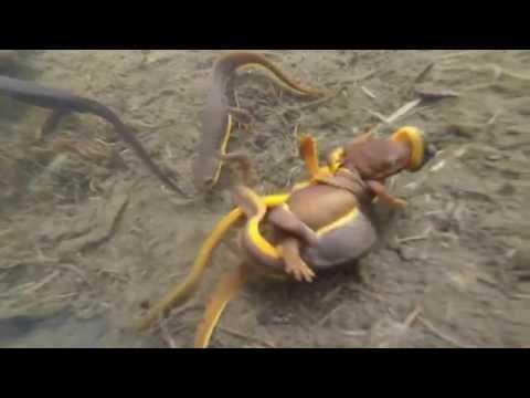 SLAMP #2 Rough-skinned Newt (Taricha granulosa)  The Alaska Herpetological Society