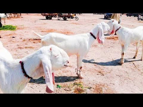 High Quality Goats for SALE | Pure RajanPuri Gulabi Bakre for Sale in Goats  Farm in Punjab Pakistan