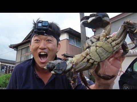 【過去最大】猫じゃらしで巨大な蟹を捕まえた‼