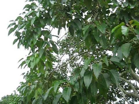 Aleurites moluccanus Candlenut Tree