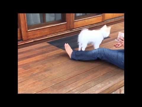 Mowgli - German Spitz - Tricks Training