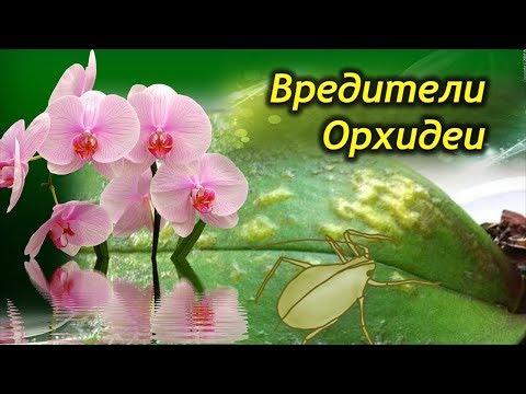 Вредители орхидей. Как спасти Феланопсис от нашествия паразитов?