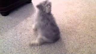 Miniature Schnauzer Spins Like A Top