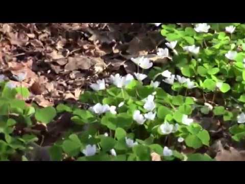 Ackerhummel bestäubt Waldsauerklee