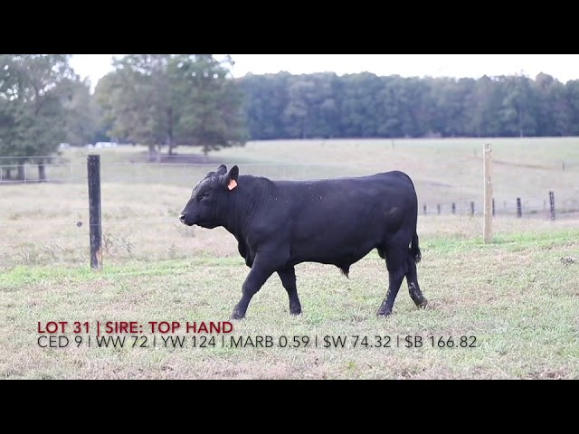 Edgewood Angus Lot 31
