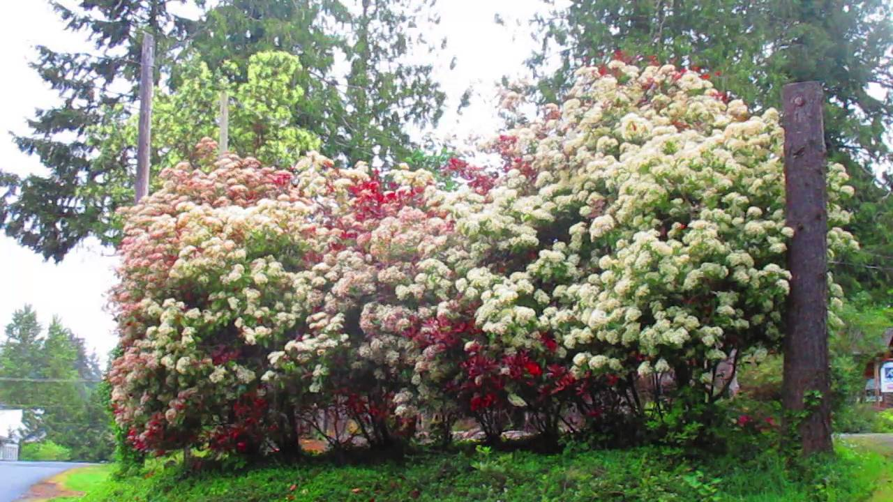 photinia fraseri in bloom youtube. Black Bedroom Furniture Sets. Home Design Ideas