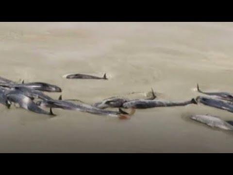 Over 100 pilot whales found on Stewart Island
