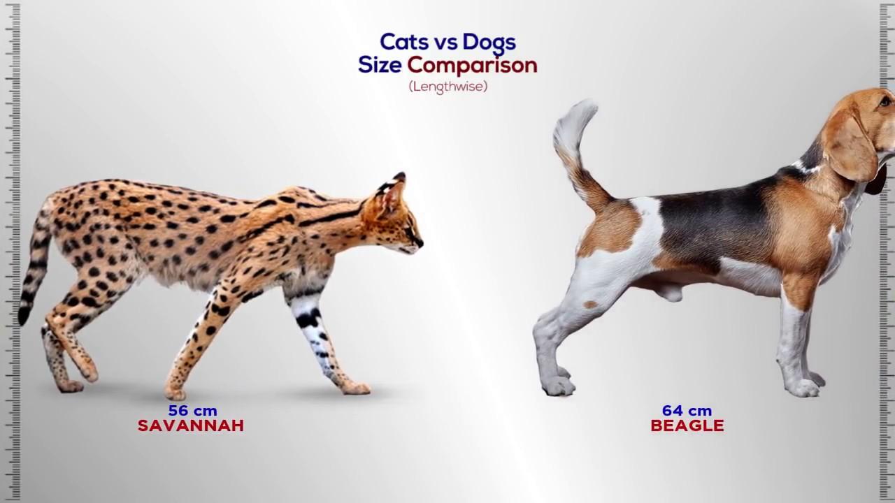 Cats Vs Dogs Size Comparison Youtube