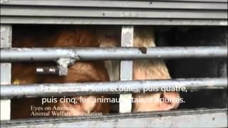 Les exportations d'animaux vivants de l'UE vers des pays tiers (enquête)