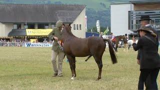Pen Ceffylau Rhanfrid Cymreig | Welsh Part-Bred Horses - Championship