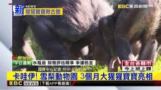 最新》卡哇伊! 雪梨動物園 3個月大猩猩寶寶亮相