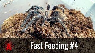 Fast Feeding #4 Thrixopelma lagunas
