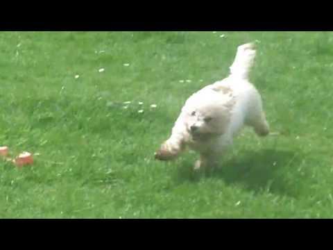 Bobby Yorkshire Terrier & Bichon Peppa.