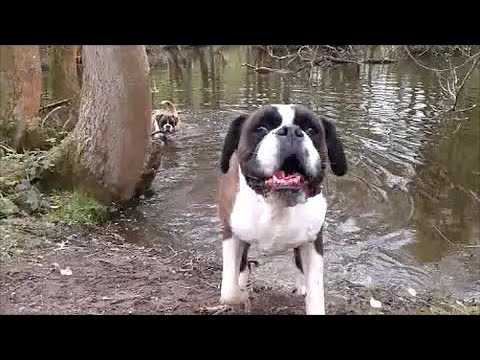 Boxer dog shakes his chops!  Archie slobber-alert!