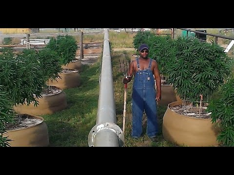 Colorado Outdoor Marijuana October 2015 Harvest!!