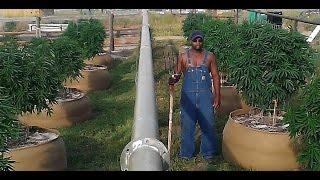 Colorado Outdoor Marijuana October 2015 Harvest!!
