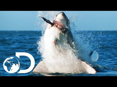 How Would Orca Attack And Kill A Great White? | Air Jaws: The Hunted | SHARK WEEK 2018