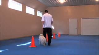 Suka (Eskimo Dog) Boot Camp Dog Training Video
