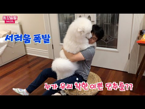 My Samoyed Puppy's Reaction When I Came Home after 1 Day