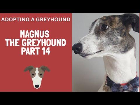 Adopting A Greyhound - Magnus