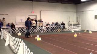 Akc Rally Advanced B First Place, Sammy The Rat Terrier | Instinct Dog Training
