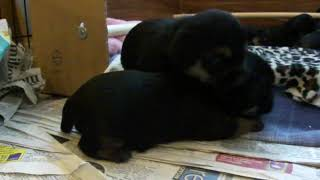 "Border Terrier ""tiggy Topaz"" Pups At 3 Weeks Old"