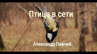 Александр Певчий - Птица в сети