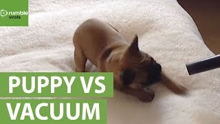 French Bulldog puppy loves the vacuum cleaner