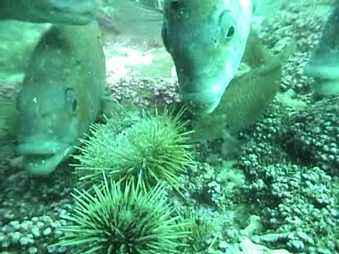 Marine Life  | Conners eating a Sea Urchin