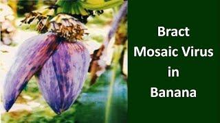 How to manage Bract Mosaic Virus in Banana crop