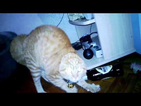 Orange Cat Hates Flowers and Says Nononono || HiCat Funny