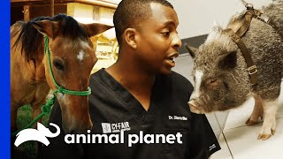 Farm Animals Get Treated By The Vet | The Vet Life