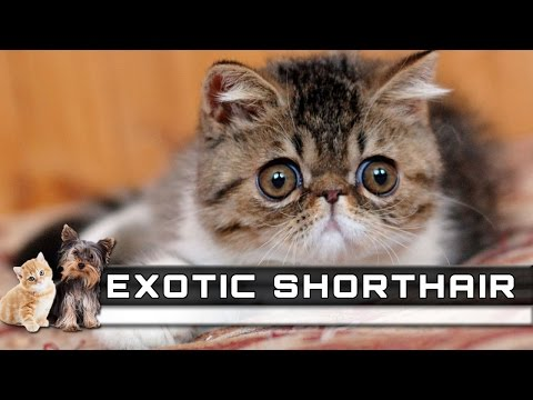 🐈 EXOTIC SHORTHAIR Cat Breed - Overview, Facts, Traits and Price
