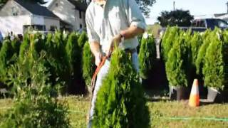 How to care for your Arborvitae in westchester NY