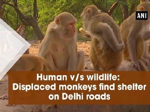 Human v/s wildlife:  Displaced monkeys find shelter on Delhi roads - ANI News