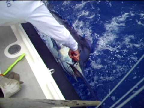 Balancal Blue Marlin Madeira