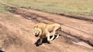 タンザニアのセレンゲティにて、雄ライオンのおたけび.