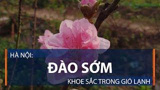 Hà Nội: Đào sớm khoe sắc trong gió lạnh   VTC1