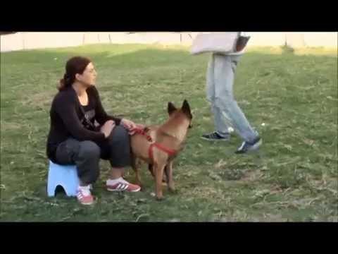 dressage chien tunisie: MALINOIS sécurité garde du maitre