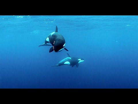 KILLER WHALES / ORCAS - ANDY BRANDY CASAGRANDE IV - ABC4EXPLORE - ORCA RESEARCH TRUST